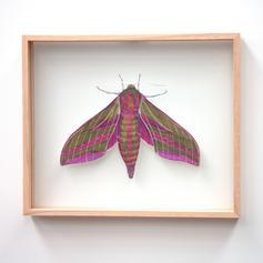 Deilephila ocellata, Elephant Hawk Moth,