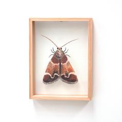 Meal Moth, Pyralis farinalis
