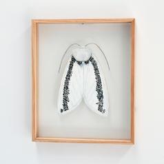 Oenosandra boisduvalii, Boisduvals Autumn Moth - female