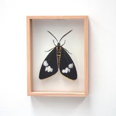 Magpie moth, Nyctermera amicus