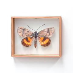 Synemon magnifica, Anzac Sun Moth