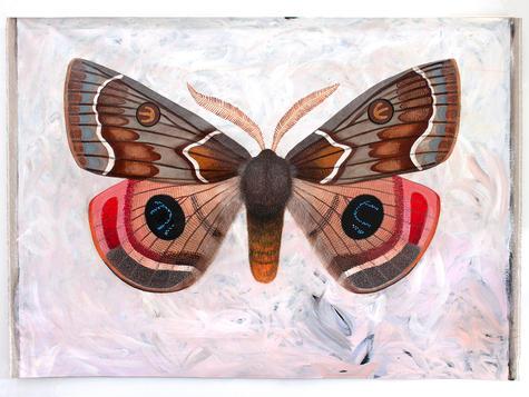 Dryandra moth, Carthaea saturnioides by