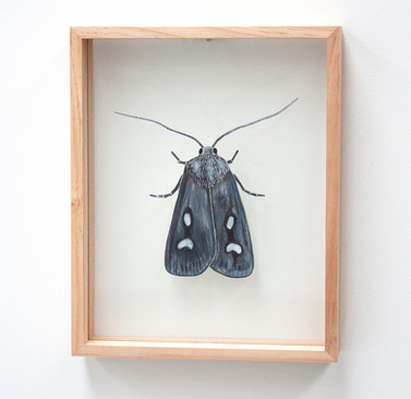 Bogong Moth, Agrotis infusa