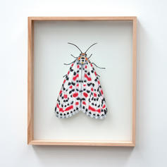 Utethesia pulchella, Crimson Speckled Mo
