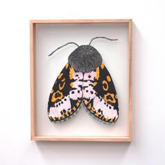 Xanthopastis reganatrix, Spanish Moth, L