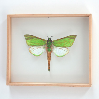 Blackburns Ghost Moth, Aenetus blackburnii - male