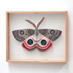 Dryandra moth, Carthaea saturnioides