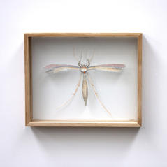 Pterophoroidae species, Plume Moth