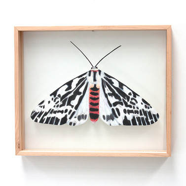 Spilosoma glatignyi, Black and White Tiger Moth