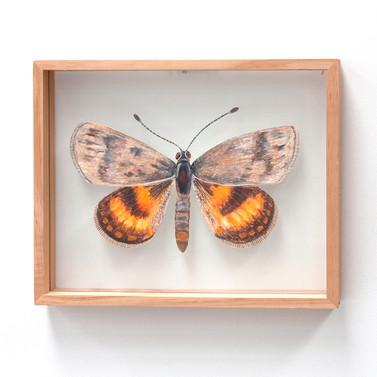 Anzac Sun Moth, Synemon magnifica