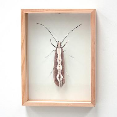 Diamond Back Moth, Plutella xylostella / Plutella australiana