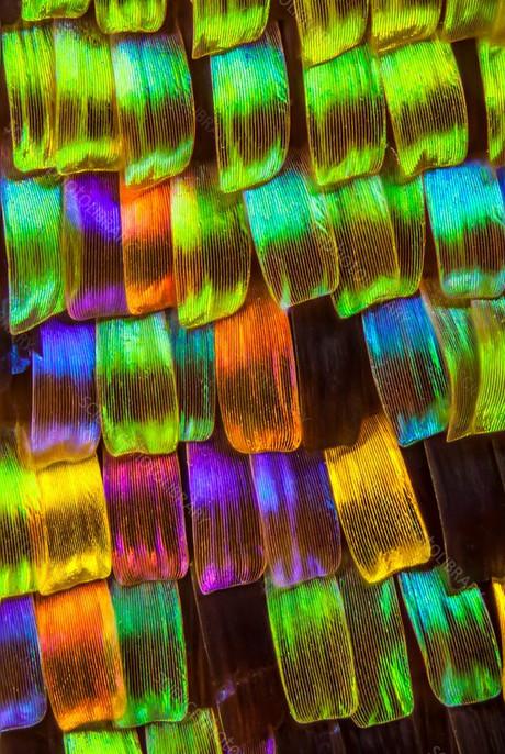 C0424511-Moth_wing_scales%2C_light_micro