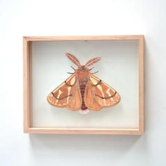 Ochrogaster lunifer, Bag Shelter Moth
