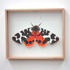 Arctica caja, Garden Tiger Moth, LARGE S
