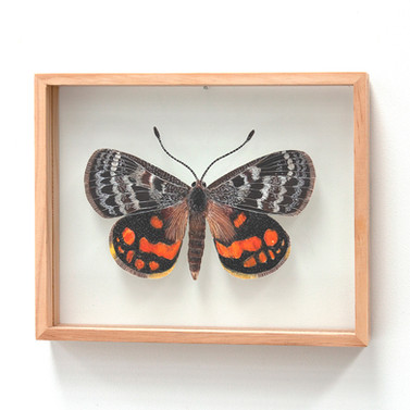 Flame Sun Moth, Synemon sophia - male