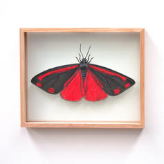 Tyria jacobaeae, Cinnabar Moth, MEDIUM S