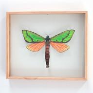 Blackburns Ghost Moth, Aenetus blackburnii - female
