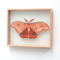 Opodiphera helena, Helena Gum Moth