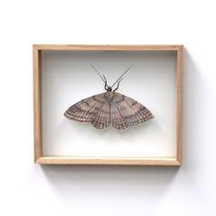 Scopula rubraria, Platain Moth