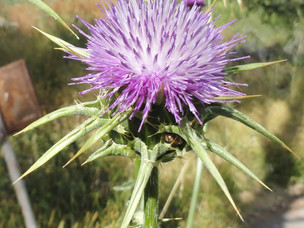 The First Thistle