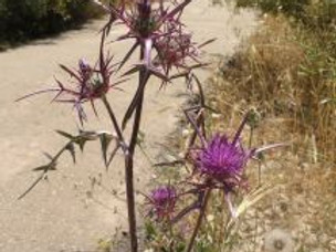 Punishment with Thistles
