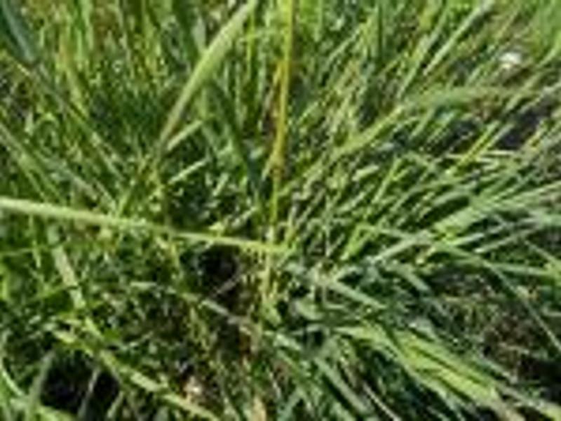 Dactylis glomerata, Rignanese