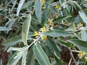 Ezra Orders Wild Olive Branches Gathered