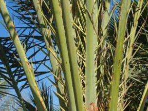 Date Palm, Thorny Tree in Ancient Israel