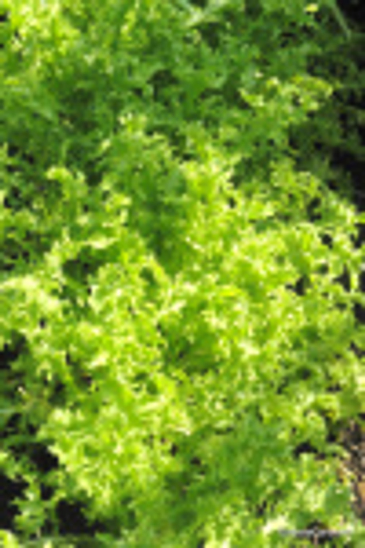 Cichorium endiva Ch 3 Moses