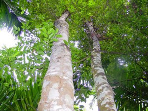 Balaam's Aloe Tree Parable