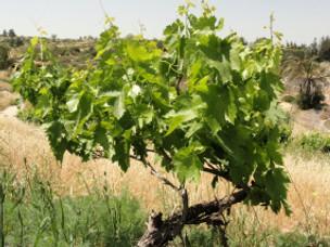 Strange Vine: Devolvement