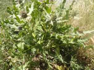 Tumbleweed Action