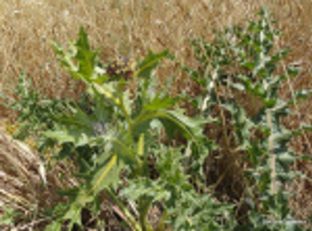 Grundelia tournefortii
