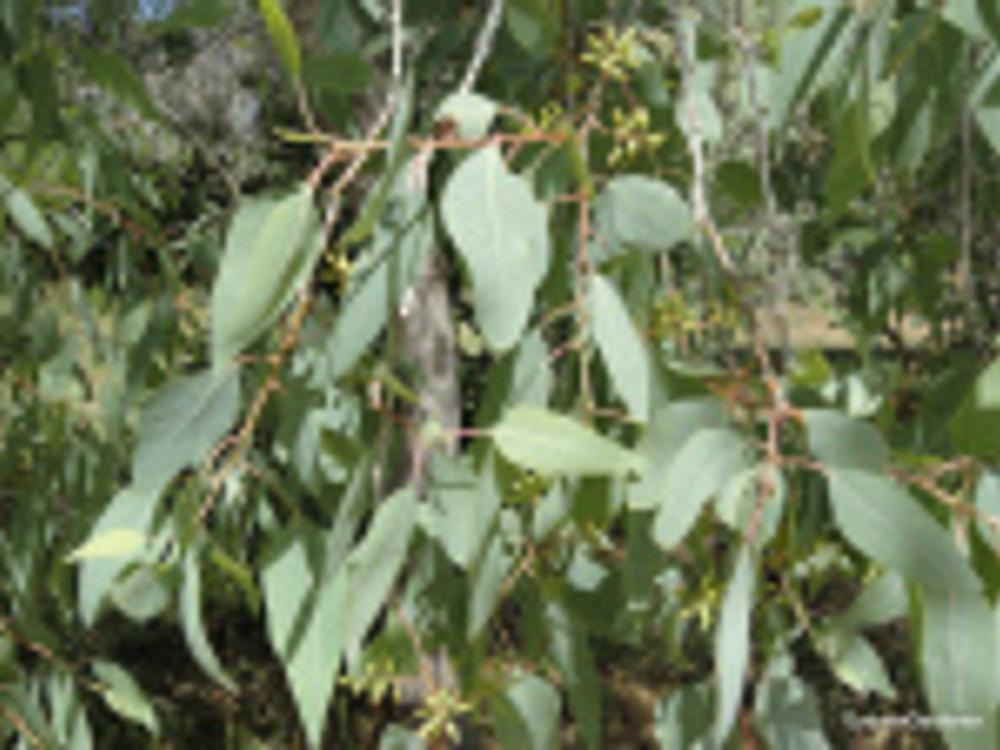 Populus euphratica leaves