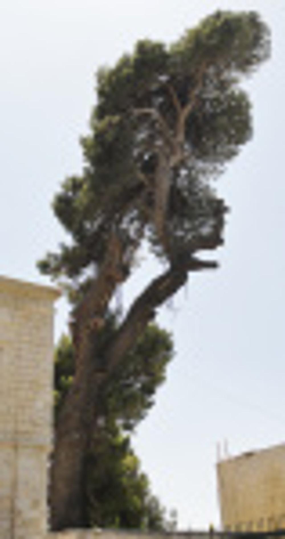 Pinus halepensis, Aleppo pine