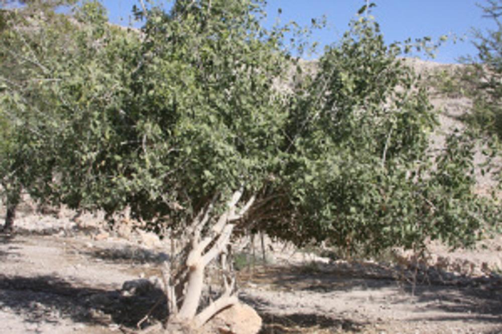 Mustard tree Sara