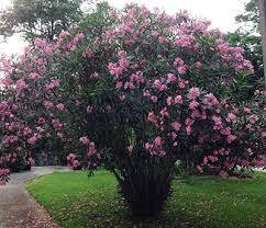 Oleander, A Bible Rose
