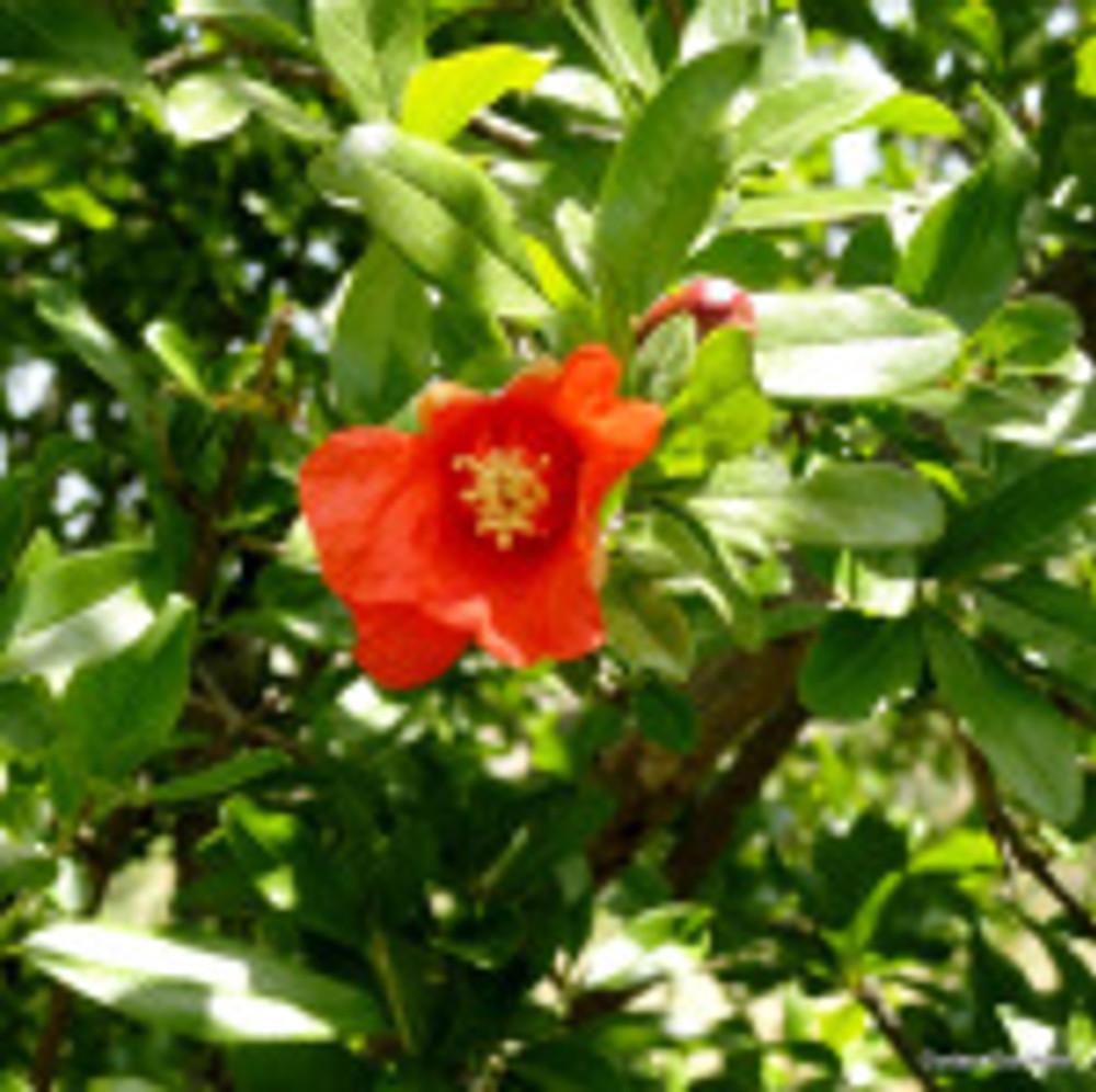 Pomegranate flower, leaf