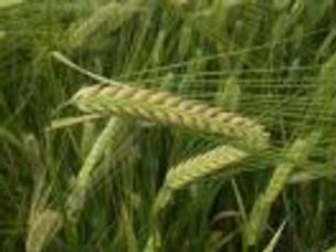 Ruth and Barley Grain