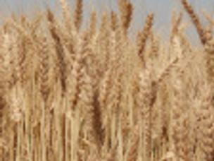 Wheat in the Presence Bread
