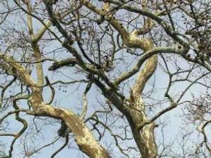 Not so Plane Tree