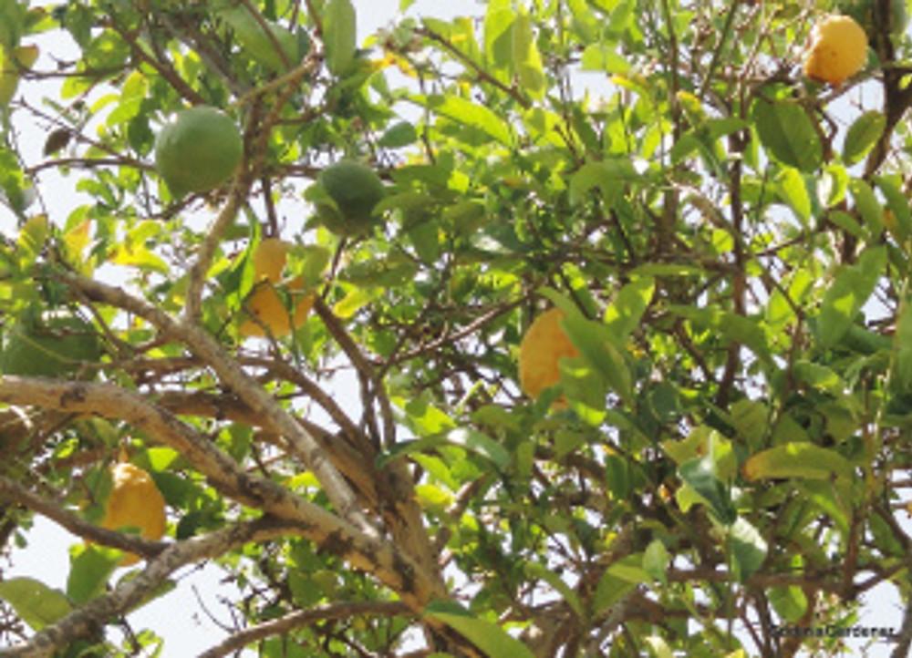 Citrus medica, NK