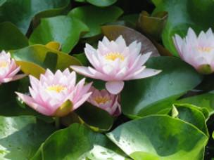 Lotus and Vitality