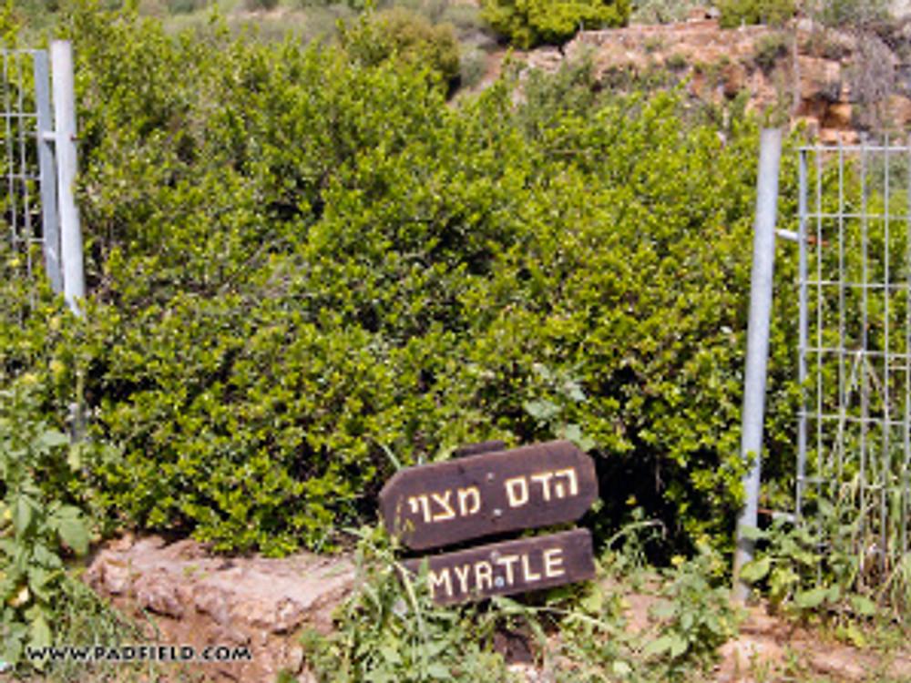 myrtle-tree-at-dan-israel-01