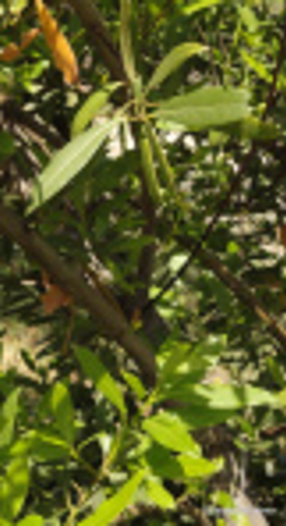 Leaves on Laurus nobilis