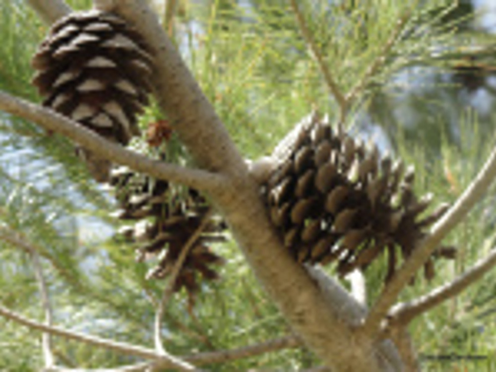 P halepensis, female cone