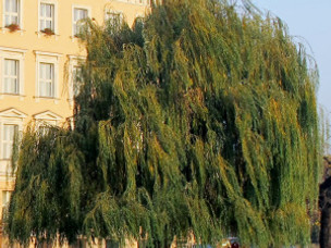 Harps on Willow Trees