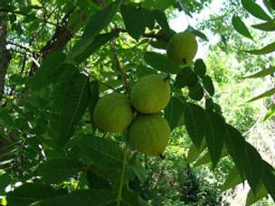 Desire in a Walnut Grove