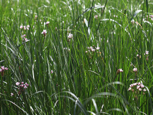 Flowering Rush and Legacy