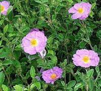 Rock rose source of onycha